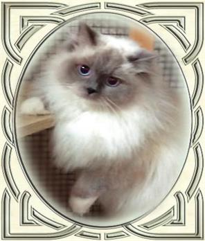 Celtic Ragdolls - Ragdolls Cats and Kittens - Virginia -